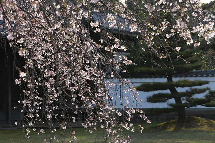 東大寺 桜4
