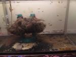微生物群稚魚