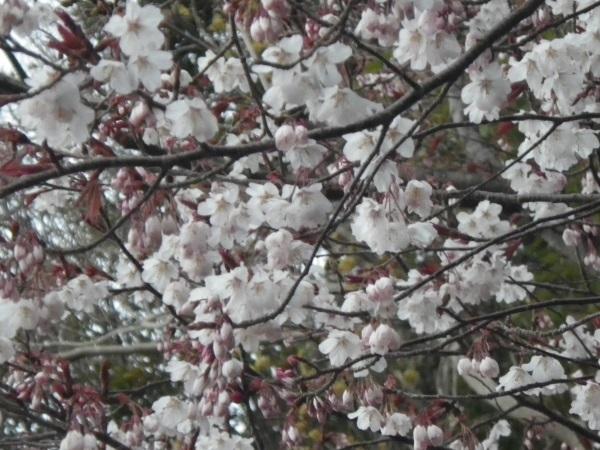 2016 3月26日桜