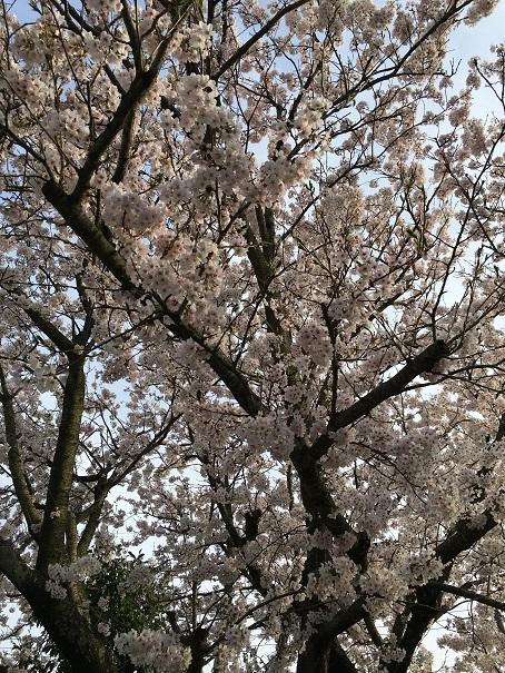 夕暮れの桜①
