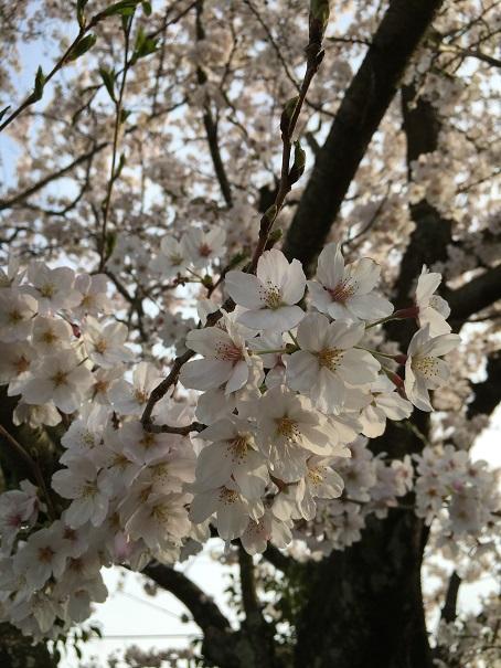 夕暮れの桜②