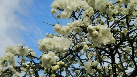 2016桃の花1