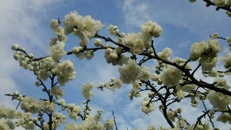 2016桃の花