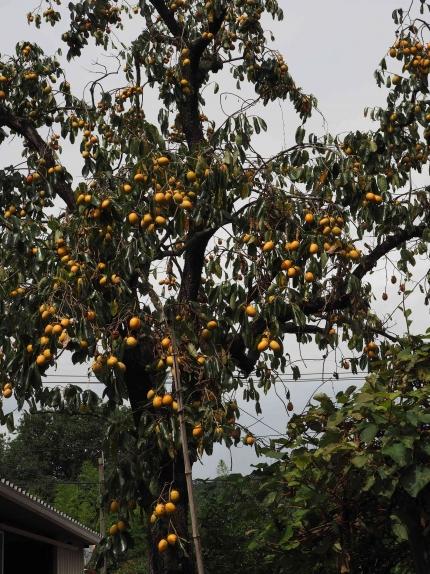 100年越え西条柿豊作