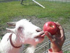 [写真]嬉しさのあまり、赤いリンゴに舌を伸ばして変顔をするアラン