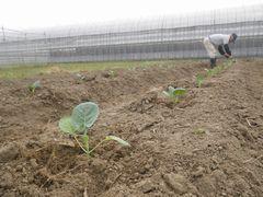 [写真]三郎畑にブロッコリーの苗を植え付けているところ