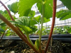 [写真]新葉が展開している紅ほっぺの様子