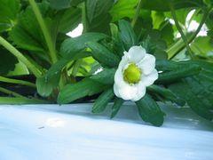 [写真]かなみひめの大きな花が咲いている様子