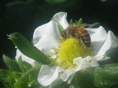 [写真]いちごの花にとまって受粉作業中のミツバチの様子