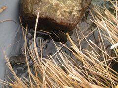 [写真]冬眠用の桶に敷き詰めたワラの隙間から顔をだすカメのトラちゃん