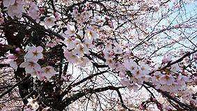 桜20160331
