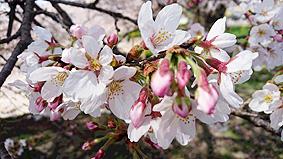 桜アップ20160331