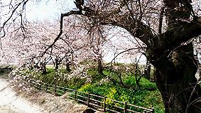 桜全景20160331
