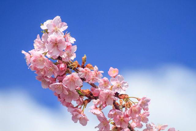 大根島の1000本桜