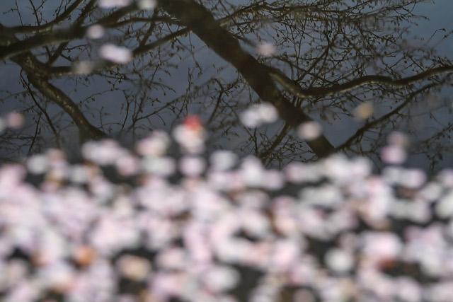 大根島 大塚山 1000本桜