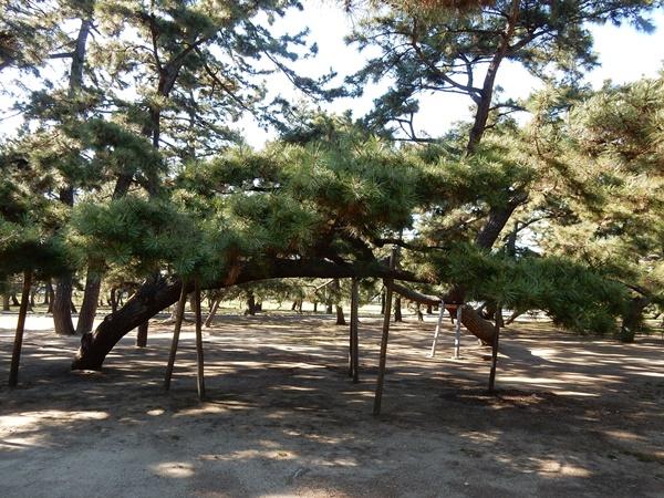 公園の松の木2