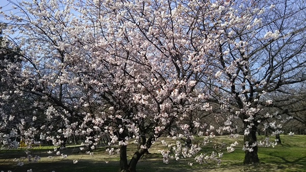 早咲きの桜1