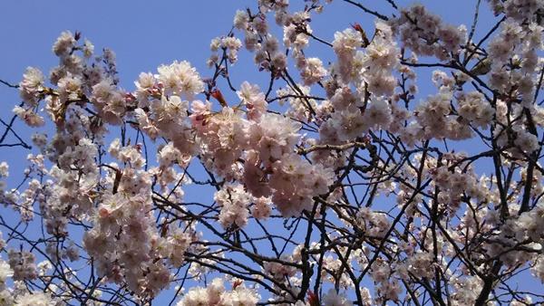 早咲きの桜1アップ