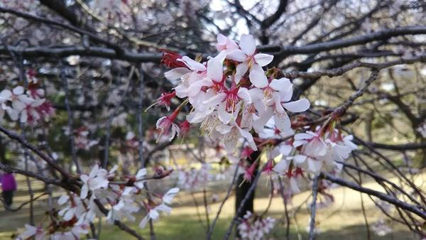 早咲きの桜2のアップ