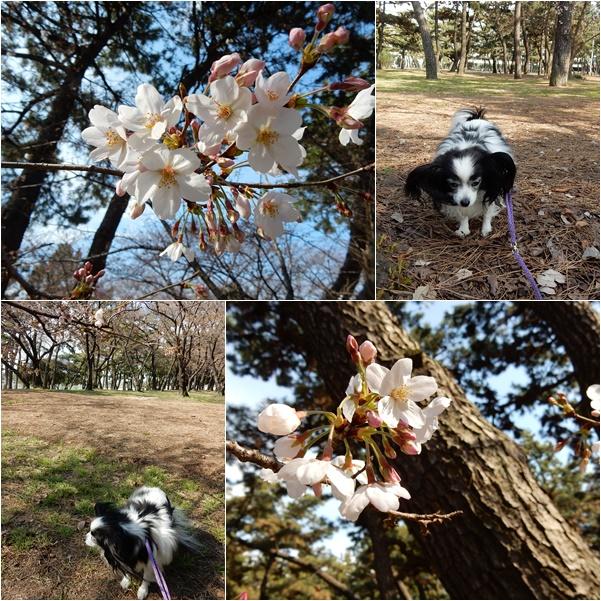 桜を探してお散歩