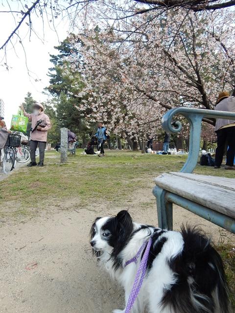 早咲きの桜とルビー