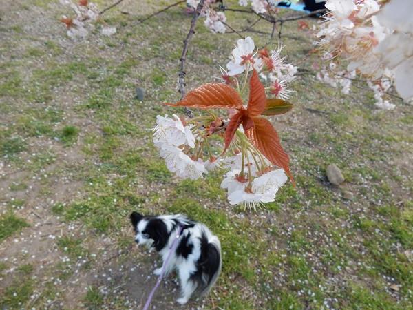 早咲きの桜とルビー2