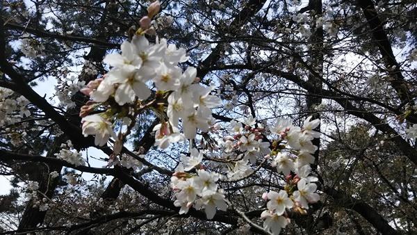 お花見 桜2