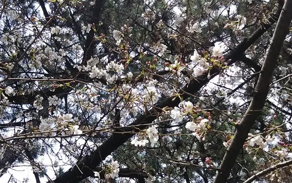 お花見 桜3