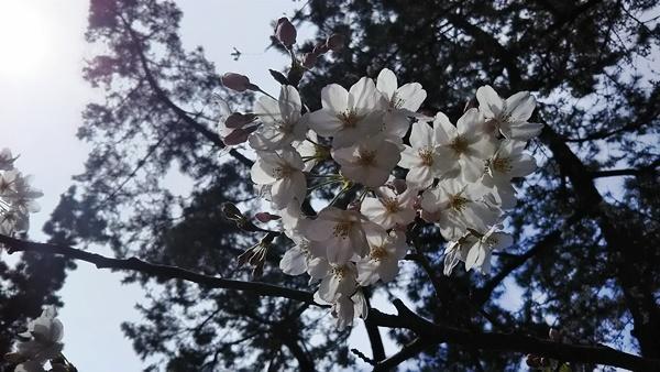 お花見 桜1