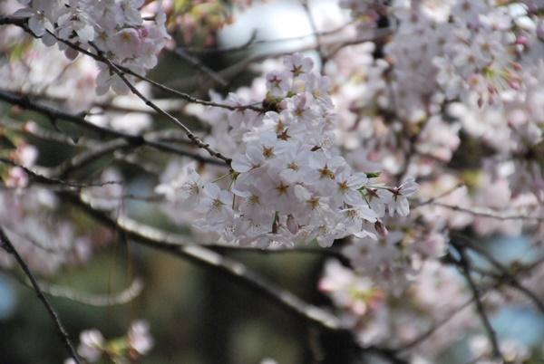 シートの場所近くの桜