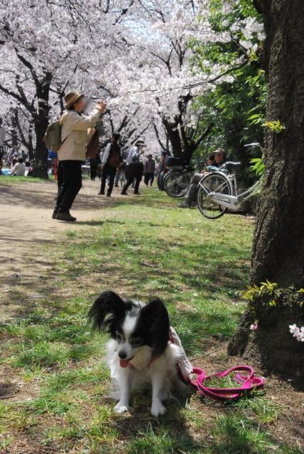 桜とルビー
