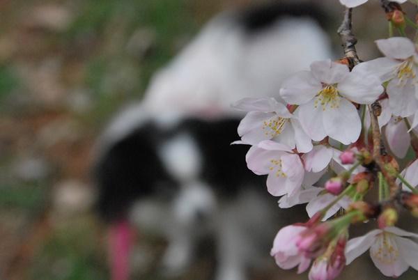 桜にピント