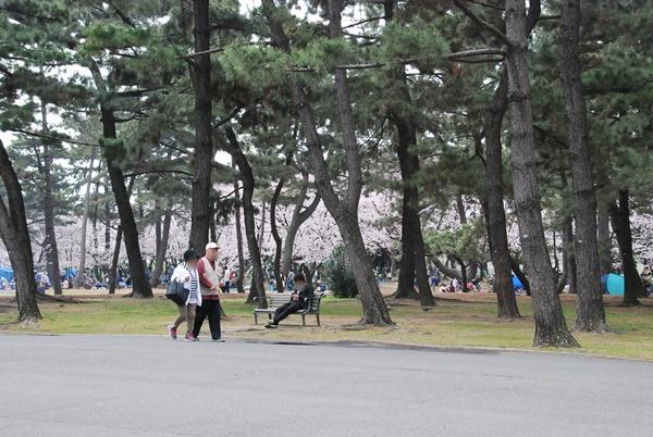 松林の向こうに桜
