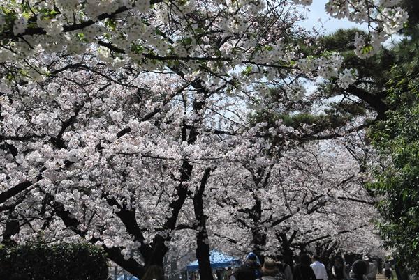 浜寺公園桜満開