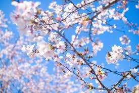 桜 フリー