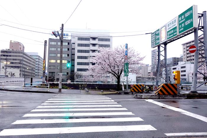 横断歩道の傍らに立つ満開の桜の樹の写真