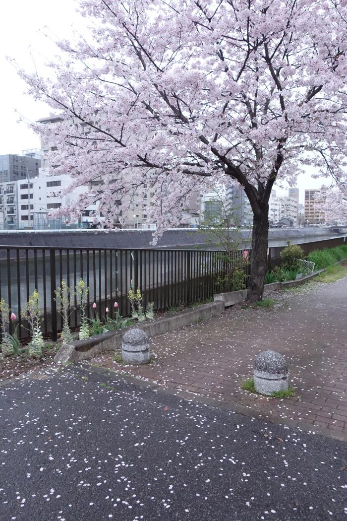 満開の桜の樹の下に花びらが散る歩道の写真