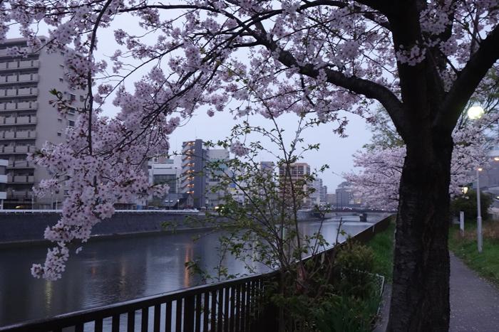 桜 花曇り 雨 桜の樹と川向こうのビル 小径の写真画像