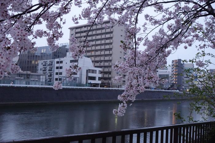 桜 花曇り 夕方の雨あがり 桜の樹と川向こうのビル 小径の写真画像
