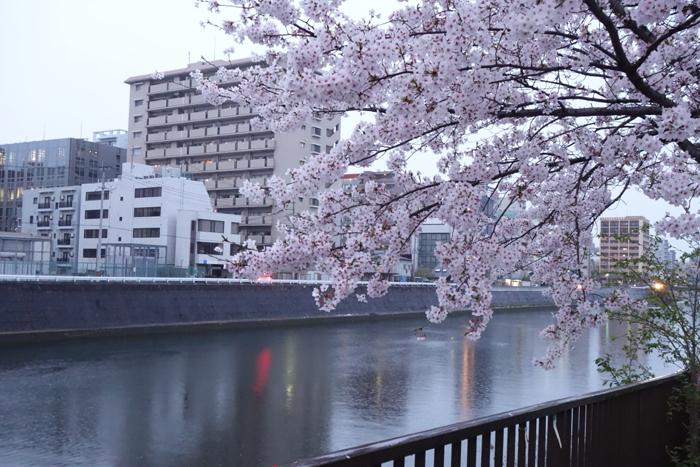 桜 花曇り 夕方の雨あがり 桜の樹と街灯と川向こうのビル 小径の写真画像