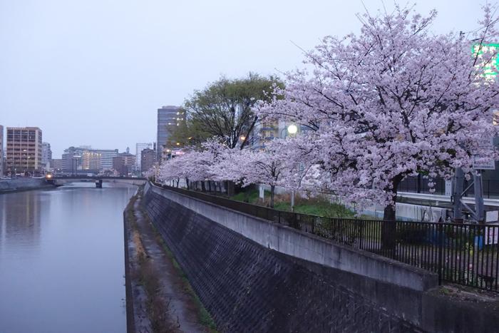 桜 花曇り 夕方の雨あがり 桜の樹と川向こうのビルの写真画像