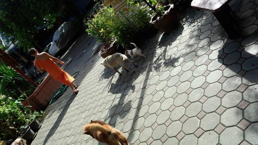 ミーママの大好きなタイの寺院には、飼い主のいない犬がたくさん連れてこられ、お坊さんや住人達がご飯をあげています2