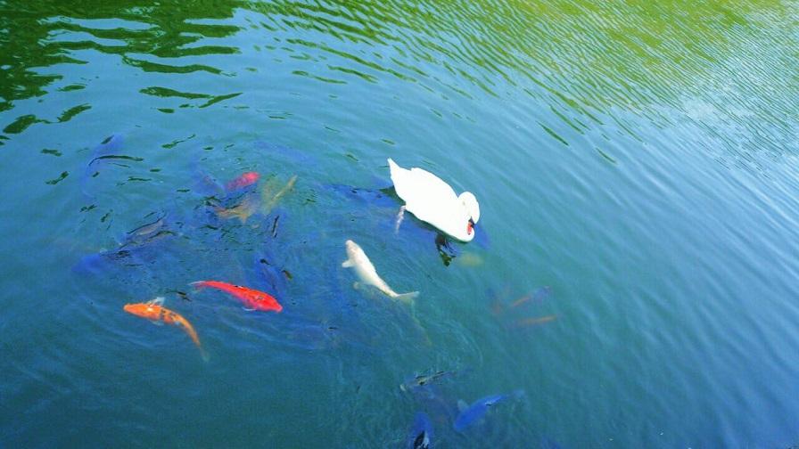 松山堀之内公園の白鳥に鯉達が付いていってます