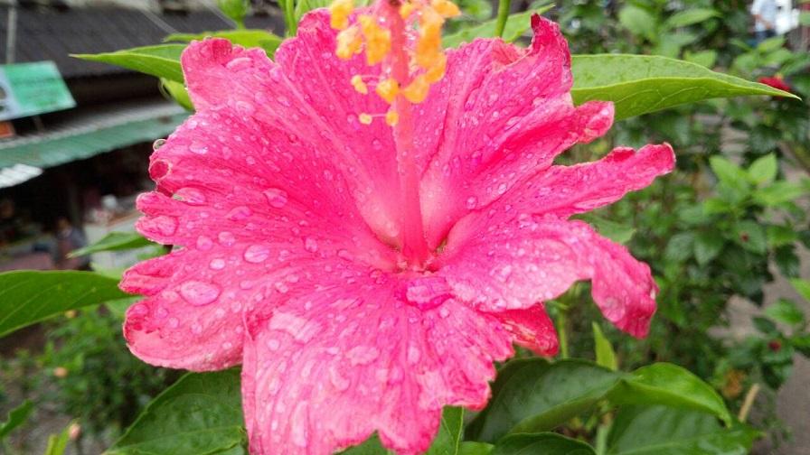 熱帯のお花4