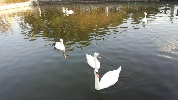 堀之内公園の白鳥の親子1