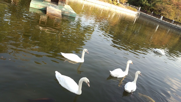 堀之内公園の白鳥の親子3