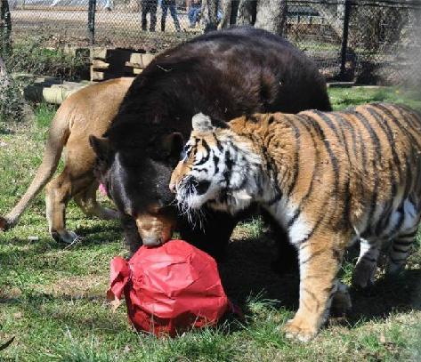 アメリカのジョージア州で一緒に暮らしているクマ・トラ・ライオン