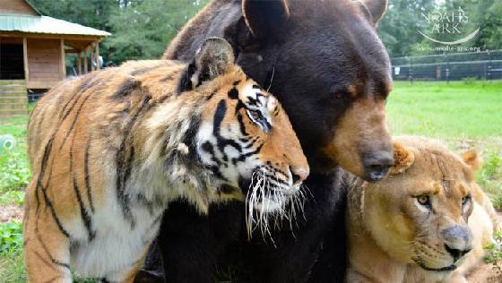 アメリカのジョージア州で一緒に暮らしているトラ・クマ・ライオン