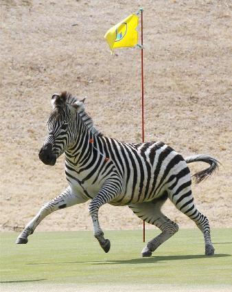 逃げ込んだゴルフ場で麻酔薬入りの吹き矢を受けたシマウマ=23日午後、岐阜県土岐市
