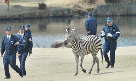 ゴルフ場で警官達に囲まれるシマウマ3